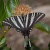 Zebra Swallowtail on Buttonbush flower
