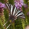 Zebra Swallowtail (Protographium marcellus)