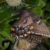 Eastern Tiger Swallowtail dark form female nectaring Buttonbush