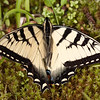 Appalachian Tiger Swallowtail (Papilio appalachiensis)