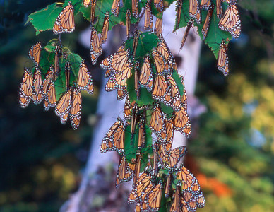 Monarch Grouping
