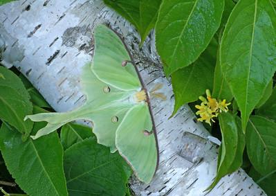 Luna Moth 8