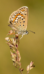 Silver Studded Blue 6