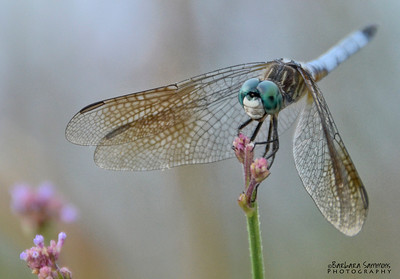Dragonfly ~Huntington Beach State Park - Murrells Inlet, SC