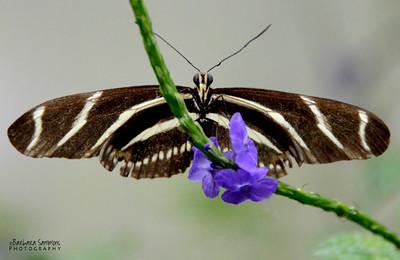Zebra Longwing ~Cypress Gardens - Moncks Corner, SC