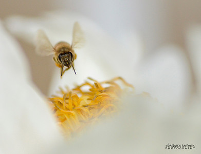 """Bzzzzz....."" Honey Bee on White Tree Peony"