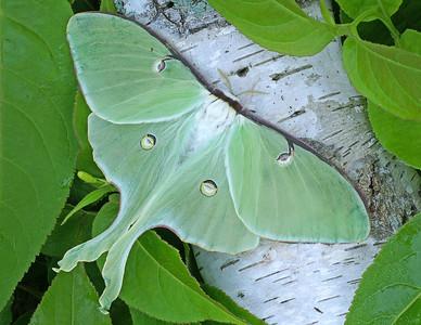 Luna Moth 3