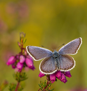 Silver Studded Blue 4