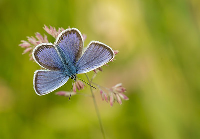 Silver Studded Blue 5