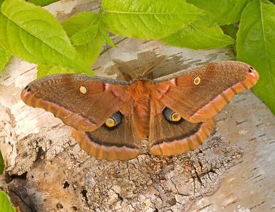 Polyphemus Moth 4