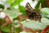 """""""Owl Butterfly"""""""