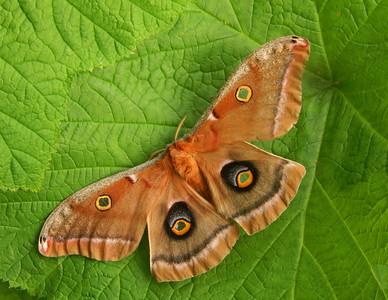 Polyphemus Moth 1