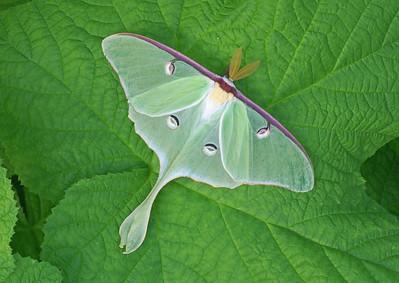 Luna Moth 7