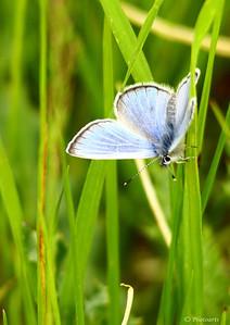 """""""Silvery Blue Butterfly"""""""