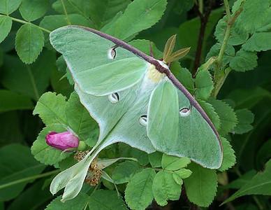 Luna Moth 4
