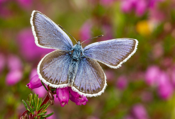 Silver Studded Blue 3