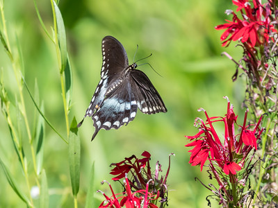 Butterfly 23 Aug 2018-5228