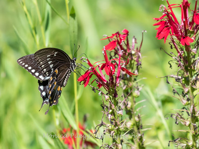Butterfly 23 Aug 2018-5222