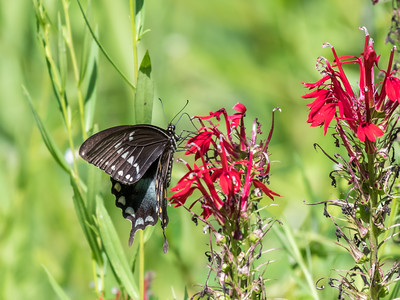 Butterfly 23 Aug 2018-5209