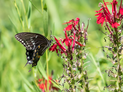 Butterfly 23 Aug 2018-5221