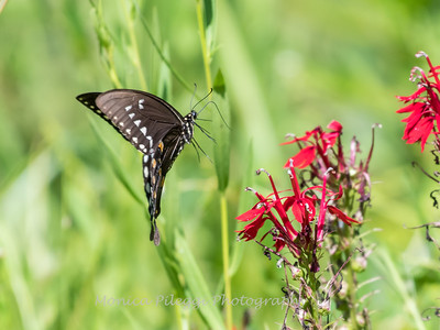 Butterfly 23 Aug 2018-5223