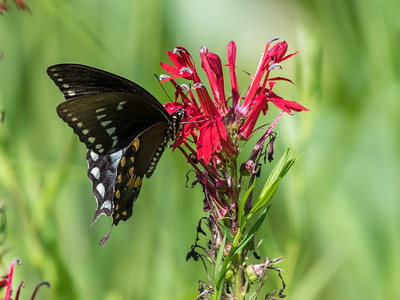 Butterfly 23 Aug 2018-5206