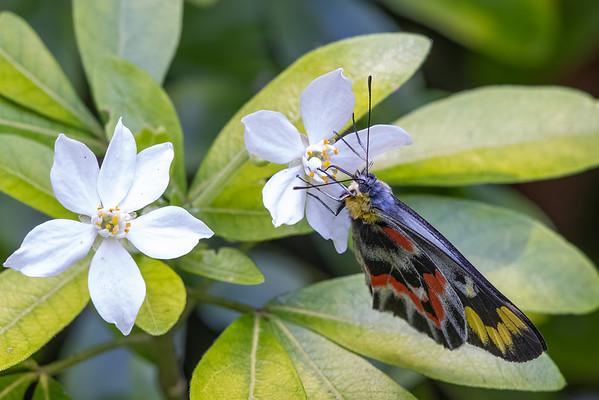 Imperial Jezebel (Delias harpalyce) - Harrietville, Victoria