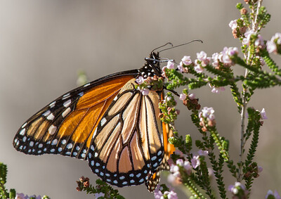 Monarch (Danaus plexippus) (Monarch) - Yanchep National Park, Western Australia