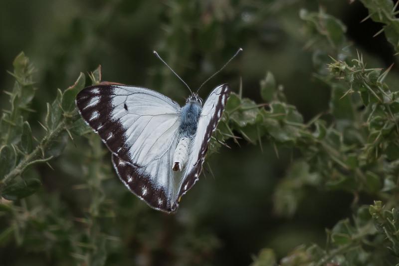 Imperial Jezebel (Delias harpalyce) - Winton Wetlands, Victoria