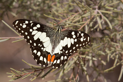 Chequered Swallowtail (Papilio demoleus) - Alice Springs, Northern Territory