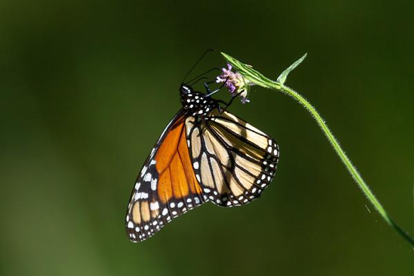 Monarch (Danaus plexippus) - Carnarvon Gorge, Queensland