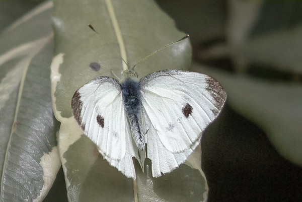Cabbage White (Pieris rapae) - Chum Creek, Victoria
