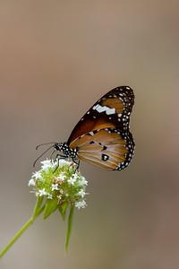 Lesser Wanderer (Danaus petilia) - Iron Range National Park (Cape York), Queensland