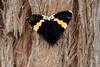 Grapevine Moth (Phalaenoides glycinae) - Clarkesdale, Victoria