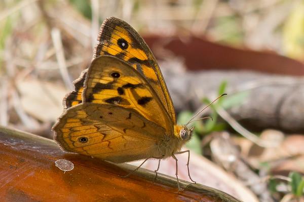 Common Brown (Heteronympha merope) - Capertee Valley, New South Wales