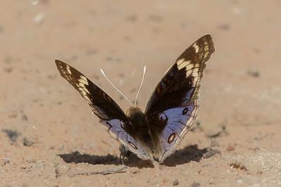 Butterfly - Laura, Queensland