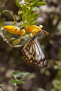Caper White (Belenois java) - Alice Springs, Northern Territory