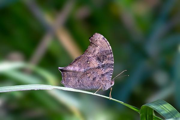 Butterfly - Carnarvon Gorge, Queensland