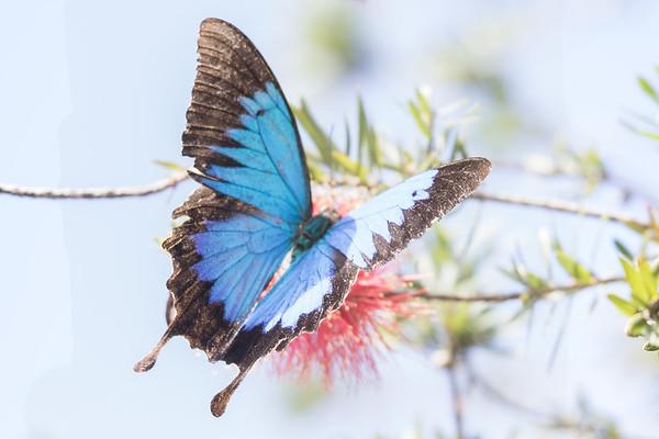 Ulysses butterfly (Papilio ulysses) - Wallaman Falls (Girringun National Park), Queensland