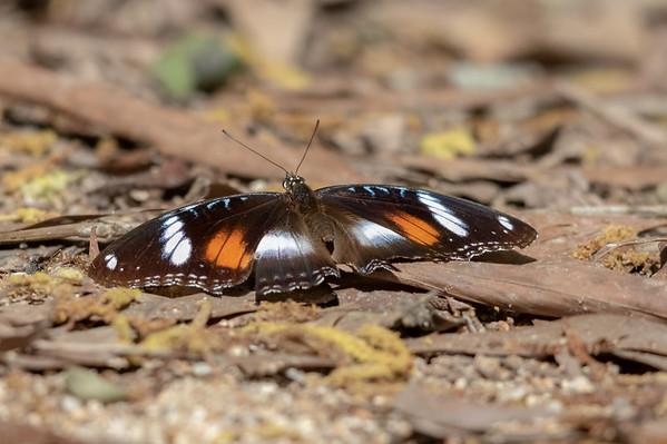 Butterfly - Chilli Beach (Cape York), Queensland