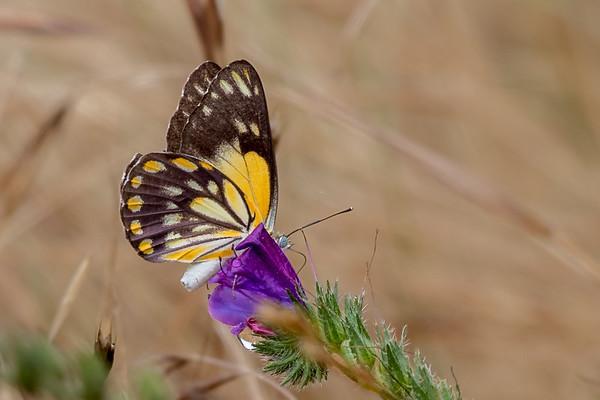 Butterfly - Winton Wetlands, Victoria