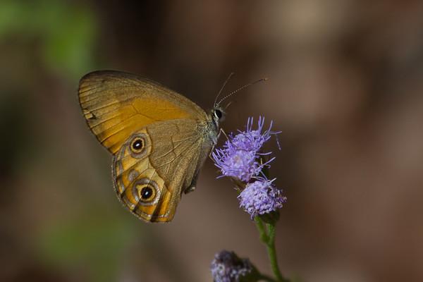 Butterfly - Wallaman Falls (Girringun National Park), Queensland