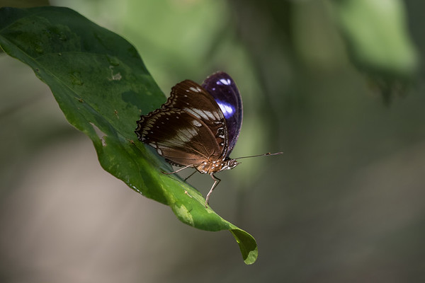 Butterfly - Buffalo Creek (Darwin), Northern Territory