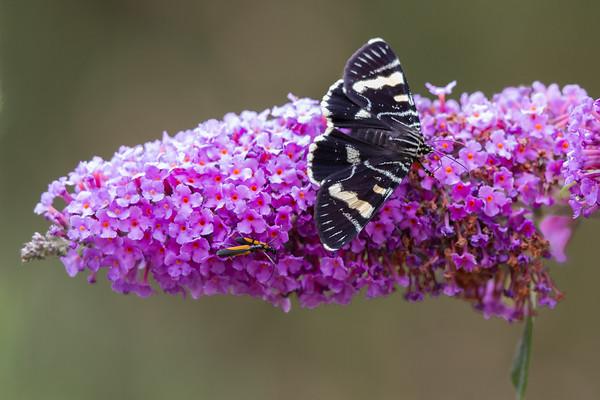 Mistletoe Moth (Comocrus behri) -Pemberton, Western Australia