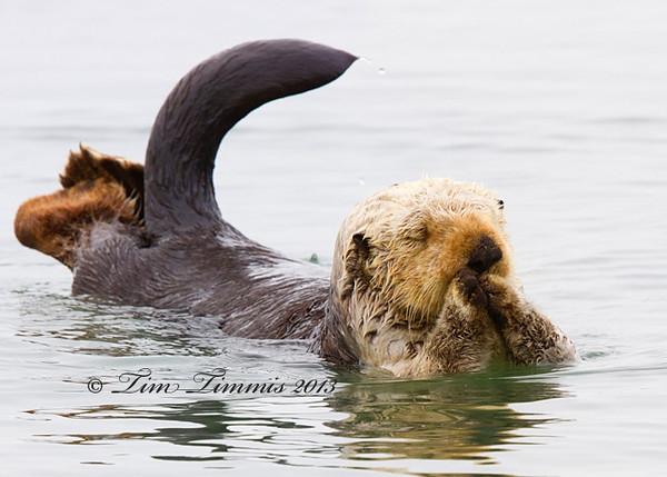 Sea Otter from Morro Bay