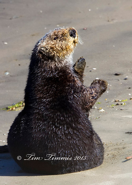 Sea Otter that came on shore and was waving goodbye