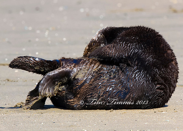 Sea Otter that came on shore and was my only opportunity to get down low and lay on the beach.