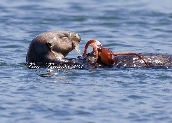 Sea Otter from Morro Bay getting ready to chow down on a squid (?)