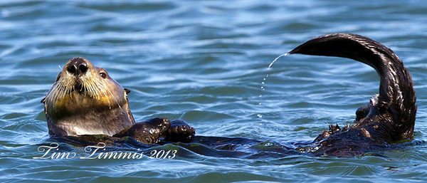 Sea Otter from Morro Bay with a little dripping tail action.