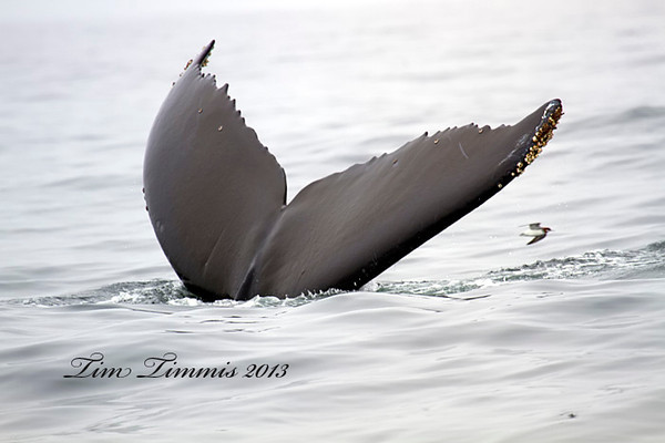 Humpback whale tail with a small bird flying behind it.